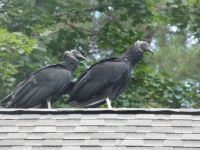 Black vulture family series, 31, fledglings on Headquarters roof (Jul 2020)