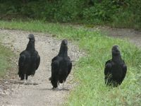 Black vulture family walking down driveway near Headquarters (Jul 2020)