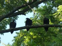 Black vulture family in tree near Headquarters (Jul 2020)