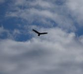 Black vulture flying above field off Station 9 (Feb 2020)