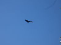 Black vulture flying over main pond (Jul 2020)