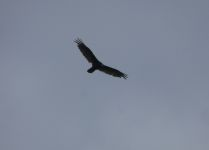 Black vulture in flight over main pond (May 2020)