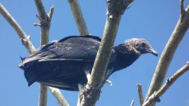 Black vulture juvenile in tree (Aug 2019)