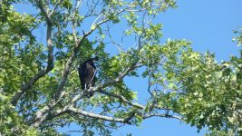 Black vulture, Unexpected Wildlife Refuge photo