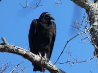 Black vulture in tree (Feb 2019)