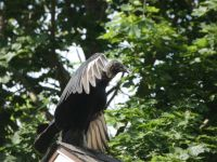 Black vulture on roof of Headquarters (Jun 2020)