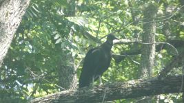 Black vulture in tree (Jun 2019)