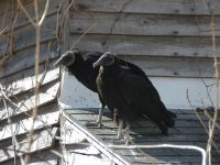 Black vultures on cabin barn, a nesting site (01) (Mar 2020)