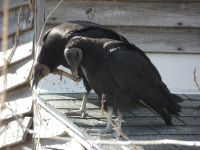 Black vultures on cabin barn, a nesting site (02) (Mar 2020)