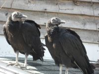 Black vultures on cabin barn, a nesting site (04) (Mar 2020)