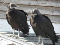Black vultures on cabin barn, a nesting site (05) (Mar 2020)