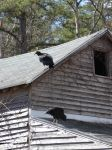 Black vultures on cabin barn, a nesting site (06) (Mar 2020)