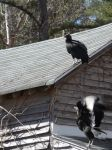 Black vultures on cabin barn, a nesting site (07) (Mar 2020)