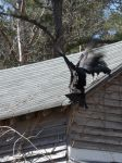 Black vultures on cabin barn, a nesting site (08) (Mar 2020)