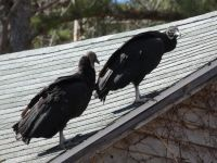 Black vultures on cabin barn, a nesting site (10) (Mar 2020)