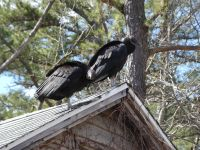 Black vultures on cabin barn, a nesting site (11) (Mar 2020)