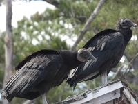 Black vultures, Unexpected Wildlife Refuge photo
