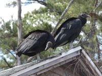 Black vultures on cabin barn, a nesting site (13) (Mar 2020)