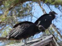 Black vultures on cabin barn, a nesting site (14) (Mar 2020)