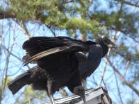Black vultures on cabin barn, a nesting site (15) (Mar 2020)