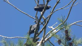 Black vulture juveniles in tree (Aug 2019)