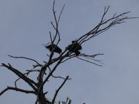 Black vultures in tree near Miller House (Feb 2020)