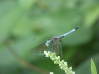 Blue dasher dragonfly male at main pond (Jul 2020)