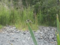 Blue dasher dragonfly, male, at Miller Pond (Jun 2020)