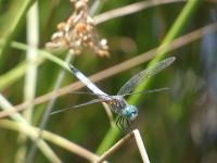 Blue dasher, Unexpected Wildlife Refuge photo