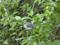 Blue-gray gnatcatcher, Unexpected Wildlife Refuge photo
