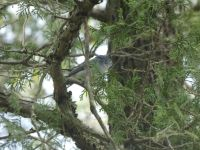 Blue-gray gnatcatcher in a tree near Headquarters (May 2020)