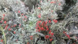 British soldiers lichen, Unexpected Wildlife Refuge photo