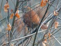 Brown thrasher, Unexpected Wildlife Refuge photo