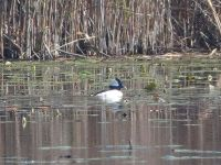 Bufflehead male swimming in main pond (Dec 2017)