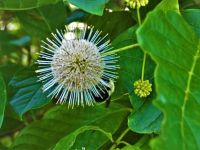 Bumblebee on buttonbush, Unexpected Wildlife Refuge photo
