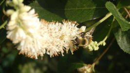 Coastal sweetpepperbush and bumblebee, Unexpected Wildlife Refuge photo