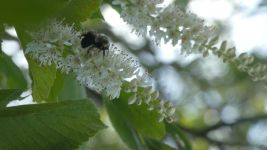 Bumblebee on coastal sweetpepperbush along main pond dike (Jul 2019)