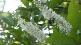 Coastal sweetpepperbush, Unexpected Wildlife Refuge photo