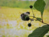 Bumblebees and ant on buttonbush (Jul 2018)