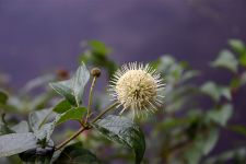 Buttonbush, photo by Sage Russell (Mar 2013)