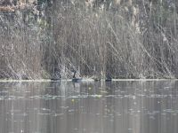 Canada geese and American black ducks in main pond (Mar 2020)