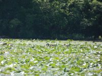 Canada geese among lily pads in main pond (Jun 2020)