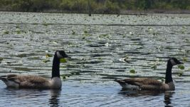 Canada geese couple in main pond (May 2019)