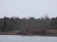 Canada geese flying over main pond (Feb 2020)