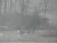 Canada geese in fog on main pond (Dec 2017)