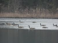 Canada geese in partially ice-covered main pond (Jan 2019)