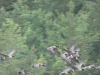 Canada geese in flight over main pond (Jun 2020)