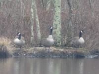 Canada geese on a main pond island (Jan 2019)