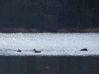 Canada geese in main pond (Jan 2020)