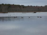 Canada geese in main pond (Mar 2020)